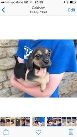 Cute puggles for sale