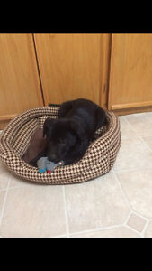 Black Lab Male Puppy For Sale