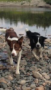 """Borgi Pups"" Border Collie/ Corgi"