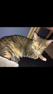 REWARD Nala lost cat