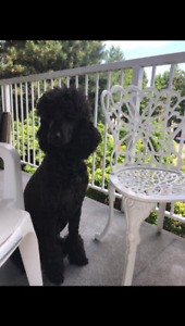 CKC Registered small standard poodles