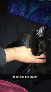 Beautiful black domestic long hair cat