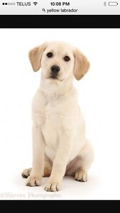 Looking for a yellow Labrador