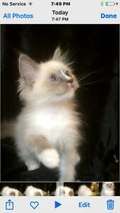TICA registered Ragdoll kitten available