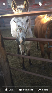 Yearling leopard ponies of America Filly
