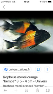 Poissons cichlidee Tropheus Moorii memba orange, à Repentigny