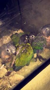 Green check Conures West Island Greater Montréal image 8