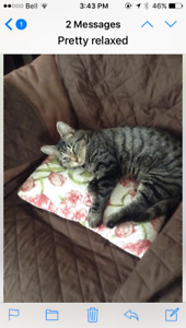 year old spayed female cat found in Tatamagouche