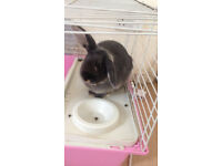 Female rabbit with indoor cage