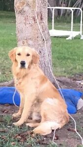 Looking for Mature Female Golden Retriever