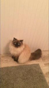 Ragdoll cat missing - George Street