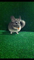 =^.^= Baby Chinchilla looking for a new home