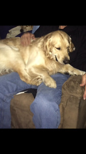 Looking to find a forever home for my golden retriever