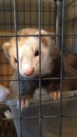 2 ferrets and homade 2-3 teir cage