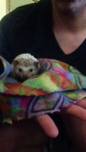 Beautiful hedgehog for rehoming