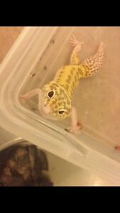 Leopard Gecko and Enclosure