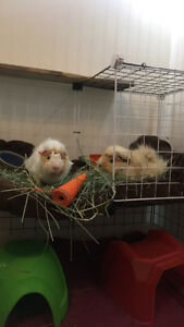Two Male Guinea Pigs + Accesories!