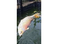 "Koi large 20"" plus and very wide lovely big fish"