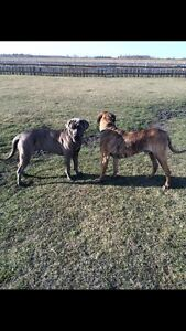 Mastiff Puppies All SOLD ... Plan to breed next year!