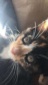 Manx Siamese calico kitten