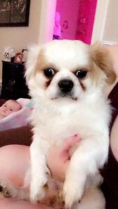 I am selling my Shitzu Pomeranian mix !!