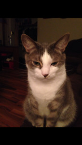 Missing Sept 26/17 Grey/white with white tip tail in Beverly are