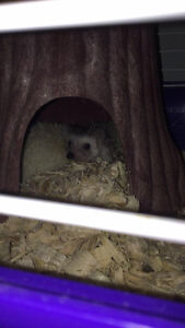 Baby Hedgehogs - Are you intertested?