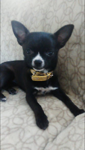 Missing small black and white female chihuahua.