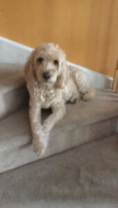WANTED: Looking for a doodle puppy (Goldendoodle/labradoodle)