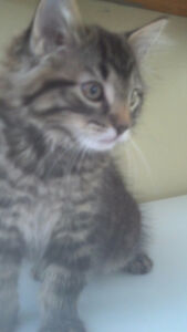 HALF BENGAL KITTEN WITH TABBY KITTEN  CALL/TEXT ONLY. i
