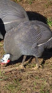 Guinea fowl and pheasants for sale
