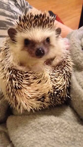 Adorable Hedghog with all supplies *PRICE LOWERED*