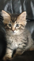 BENGAL / MAINE COON KITTENS!!!
