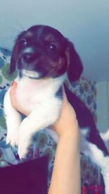 Cavajack puppy