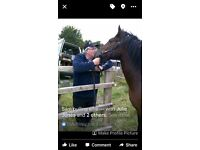 Help find Stan!14.2hh Welsh sectionD gelding