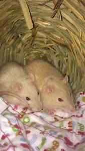 2 female rats to give away to good home only