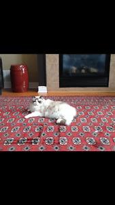 Large wool Persian carpet
