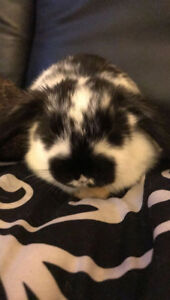 Black & white Lop Bunny with Cage