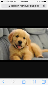 Looking for a golden retriever pup!