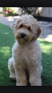 Looking for a hypoallergenic dog