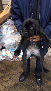Cane Corso Pups for Sale