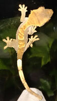 Flame Crested Gecko Baby!