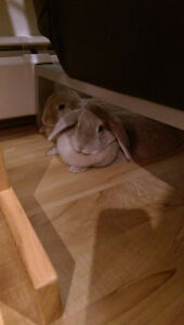 Adorable friendly lop-eared bunny sisters looking for new home