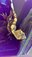 Crested Gecko Pair