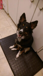 1 Year Old Collie/Lab/Aus Shepherd Mix for Rehoming