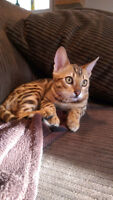 Adorable Female Bengal - 6 month Old