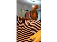 beautiful senegal talking parrot