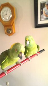 Parrots for sale one or together