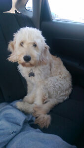 Looking for a Dog Walker for our 1 year old Mini Goldendoodle