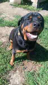 Beautiful well trained 2 year old Rottweiler